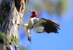 Pic à tête rouge (Marie-Helene Levesque) Tags: oiseau pic picbois picàtêterouge vb mariehélène mariehelene