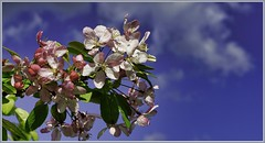 Spring Blossoms (robinlamb1) Tags: nature tree plant blooms blossoms sky cloud flowers springflowers