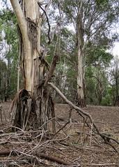 Peeling bark and branch litter (Richard Rodgers_melb.aus) Tags: australia victoria eltham trees