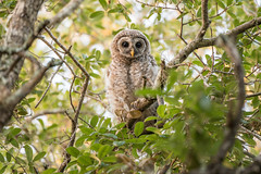 Barred owlet (Adrien S.M) Tags: