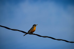 Robin on a wire (darletts56) Tags: sky blue cloud clouds wire line wires lines robin bird orange brown feather feathers yellow grey black white saskachewan canada prairie