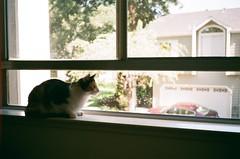 observation deck (peaceblaster9) Tags: cat window home california film konicac35 fujicolorc200 ネコ 猫 フィルム フィルムカメラ フィルム写真 コニカ