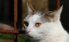 GAT (Joan Biarnés) Tags: olives gat gato retrat retrato pladelestany girona 308 panasonicfz1000