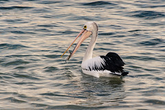 Pelican in the sea (Merrillie) Tags: wings bills nature bay birds newsouthwales sea nsw brisbanewater wildlife feathers terrigal coastal australia outdoors animals fauna centralcoast water pelican