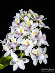 Epidendrum Hybride (faatura) Tags: orchids fleurs flowers epidendrum hybride orchidée
