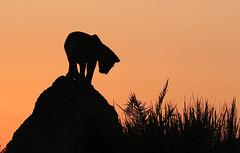Lion cub on a termite mount at sunrise - Duba Plains - Delta of okavango - Botswana (lotusblancphotography) Tags: africa afrique botswana okavango nature wildlife faune animal lion lioncub sunrise aurore safari silhouette