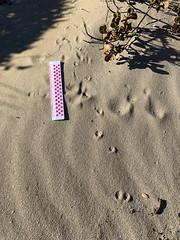 tracks in the sand 1 (julie burgher) Tags: roystonheadwalk roystonhead innesnationalpark yorkepeninsula southaustralia tracksinthesand
