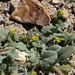 Mono County phacelia, Phacelia monoensis