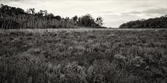 nyerimilang-3869-ps-w (pw-pix) Tags: creek rushes reeds weeds plants succulent saltwater marsh marshy swampy muddy trees titree eucalypts forest bush sky clouds cloudy overcast dull cool grey hill hills bw blackandwhite monochrome toned bancroftbay bancroftbaykalimnagippslandlakesreserve nyerimilangparkreserve nyerimilangpark maringacreek lookingdownstream lookingtowardsreeveschannel lookingtowardsthelake kalimnawestroad reeveschanneltrack kalimna nyerimilang eastgippsland gippslandlakes gippsland victoria australia peterwilliams pwpix wwwpwpixstudio pwpixstudio