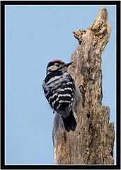 LESSER SPOTTED WOODPECKER (PHOTOGRAPHY STARTS WITH P.H.) Tags: lesser spotted woodpecker nikon d500 200500mm afs vr devon wood