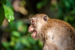 Ao Nang Monkey (grzegorzmielczarek) Tags: krabi longtailedmacaqque langschwanzmakak aonang javaneraffe thailand macacafascicularis amphoemueangkrabi
