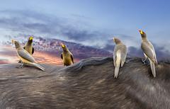 Warning - photoshopped (Sheldrickfalls) Tags: photoshop yellowbilledoxpecker buffalo africanbuffalo buphagusafricanus s100 satara mpumalanga krugernationalpark kruger krugerpark sunrise southafrica
