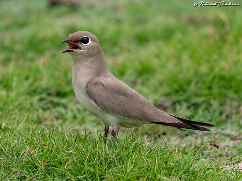 """Small Pratincole (Lifer) • <a style=""""font-size:0.8em;"""" href=""""http://www.flickr.com/photos/59465790@N04/33808437738/"""" target=""""_blank"""">View on Flickr</a>"""