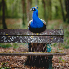 Sorry Seems To Be The Hardest Word ... (Gari VALDEN) Tags: canon 5d markiii 135mm f2 bird peafowl paon banc foret bokeh gari valden beaty wood forest automn automne nature glamour elton john