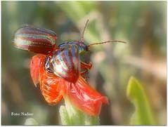 Take off (Nadine V.) Tags: leafbeetle bladhaantje chrysolinaamericana rosemarybeetle beetle kever panasonic panasonicdmcfz200 insect inourgarden fz200 dmcfz200 lumix