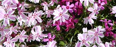 lavender thrift (Phlox) with some red, 3 (Martin LaBar) Tags: southcarolina pickenscounty phlox thrift flowers spring frühling groundcover dicots