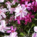 lavender thrift (Phlox) with some red, 3 thumbnail