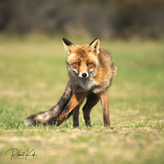What's up? (Jambo53 ()) Tags: redfox vulpesvulpes rodevos netherlands coastalarea duingebied crobertkok renardroux nikond800 portrait portret mammal iso160 f56 1800 intens depthoffield