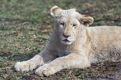 Big white cub lying down (Tambako the Jaguar) Tags: lion big wild cat white cub young cute lying resting posing portrait face grass dry sunny lionsafaripark johannesburg southafrica nikon d5
