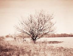 Kirsebærtræ (LarsHolte) Tags: pentax 67 6x7 pentax67 pentax6x7 smctakumar6x7 135mm f40 foma fomapan fomapan100 fomapan100professional caffenolc 100iso mediumformat blackandwhite monochrome bw 120film analog analogue classicblackwhite filmforever filmphotography ishootfilm larsholte homeprocessing kokkedal denmark danmark tree flowers