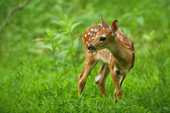 Fawn in Spring Green Flora, Shenandoah National Park (Bryan Carnathan) Tags: fawn fawns whitetail whitetails whitetailed deer animal animals wildlife photography outdoors nature baby babies shenandoah nationalpark bigmeadows goshenandoah nps virginia va spring canon canoneos1dxmarkii