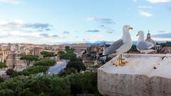 Seagulls in Rome (Nicola Pezzoli) Tags: italia italy rome roma capitale city città street photography seagull bird altare patria