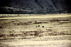 77-256 (ndpa / s. lundeen, archivist) Tags: nick dewolf color photograph photographbynickdewolf 1976 1970s film 35mm 77 reel77 africa northernafrica northeastafrica african ethiopia ethiopian centralethiopia southwesternethiopia grass grassy landscape terrain animals zebras grevyszebras zebra animal grevyszebra grévyszebra grévys southernethiopia