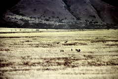77-254 (ndpa / s. lundeen, archivist) Tags: nick dewolf color photograph photographbynickdewolf 1976 1970s film 35mm 77 reel77 africa northernafrica northeastafrica african ethiopia ethiopian centralethiopia southwesternethiopia grass grassy landscape terrain animals zebras grevyszebras zebra animal grevyszebra grévyszebra grévys southernethiopia