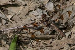 20190422-_E1A5777 (Denver Kramer) Tags: animals canon100400mmll canon7dll commonwhitetail denverkramerphotography llela lakelewisvilleeducationlearningarea lewisvillelakeenvironmentallearningarea texas dragonflies wildlife