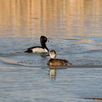 Ring-necked duck at Seedskadee National Wildlife Refuge thumbnail