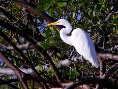Animals (US Department of State) Tags: greategret bird animals outdoors tree environment nature florida mangrove northpalmbeach wildlife