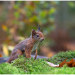 Red Squirrel - Eekhoorn (Sciurus vulgaris) ..... thumbnail