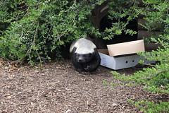 Beebee No.5 (Parklife) Tags: howletts wildlife honeybadger animals animal kent