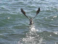 Pelican (Bruja Camilla) Tags: pelican biirds animals wildlife