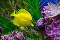 All About Color (James Neeley) Tags: idaho idahofallsaquarium fish yellowtang color wildlife jamesneeley