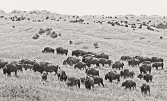 Where The Buffalo Roam (yellocoyote) Tags: america american badlands bison buffalo dakota feed graze herd hoof hooved landscape mammal monochrome national nature np park plains prairie sd sepia south states united us usa wild wilderness
