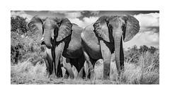 Elephants overlooking the Zambezi (Vince O'Sullivan) Tags: 2014 africa hurungwe july manapoolsnationalpark mashonalandwest zimbabwe elephant africanelephant