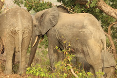 Savanna elephants, Mole Motel, Mole National Park, Ghana (inyathi) Tags: africa westafrica ghana africananimals africanwildlife africanelephants savannaelephants elephants loxodontaafricana molemotel molenationalpark
