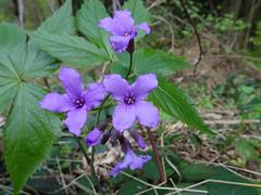 Blume (Priska B.) Tags: blume blüte blau pflanze frühling schweiz switzerland swiss svizzera nidwalden zentralschweiz innerschweiz