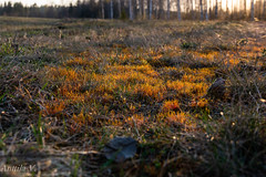 Last Light (vilianttila90) Tags: nikon sigma d7100 1770 28 nature light evening moss