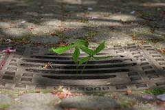 Großstadtblatt - urban nature (Sockenhummel) Tags: blatt leave chestnut kastanienblatt kastanie gulli gitter rost fuji x30 strase