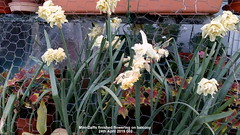 Mini-Daffs finished flowering on balcony 24th April 2019 002 (D@viD_2.011) Tags: minidaffs finished flowering balcony 24th april 2019