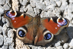 Peacock Butterfly (AndyNeal) Tags: animal wildlife nature essex essexwildlifetrust insect butterfly peacock peacockbutterfly