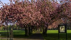 Lush (Graham S Paton) Tags: edinburgh meadows scotlandbloom cherry blossom flowers trees welcome
