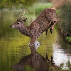 Splashdown #stagoftheday #stag (maxjunkyard) Tags: stagoftheday stag