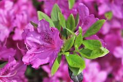 Sherwood Gardens ~ Azalea time (karma (Karen)) Tags: baltimore maryland sherwoodgardens bushes azaleas blossoms dof bokeh hbw topf25