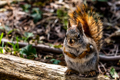 Red Squirrel sits pretty
