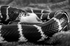 Photo (BadSoull) Tags: photo europe czech republic sony a6300 mirrorless 2019 bnw black white blackwhite abstract animal snake feeding mouse pet cute prague