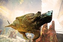 Tanya the Tortoise Trash Talks Treasonous Trump (kirstiecat) Tags: tortoise turtle marine marinelife aquatic aquarium sheddaquarium chicago swim underwater moment alliteration