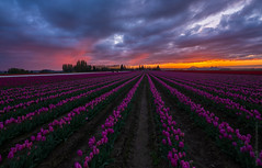 Skagit Sunset GF 23mm (www.mikereidphotography.com) Tags: skagit tulips sunset northwest fuji gfx50s